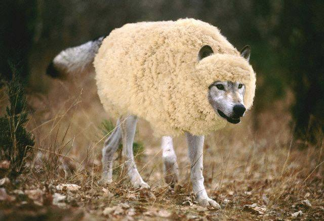 Sheep - Big 1 - wolf-in-sheeps-clothing