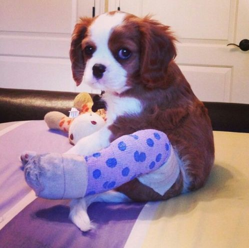 puppy-in-a-cast-1
