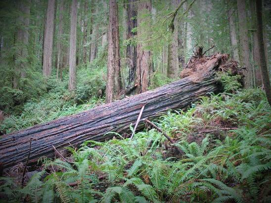 Redwood - 2
