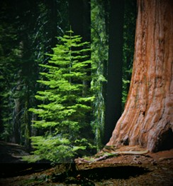 Redwood trunk_and_sapling