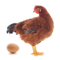 hen with egg isolated on white