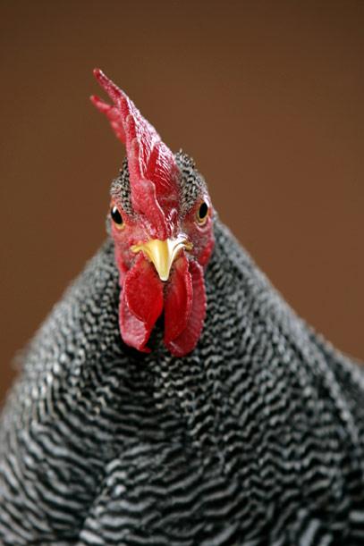 chicken-0