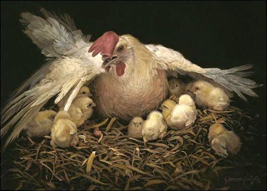 chickens-9